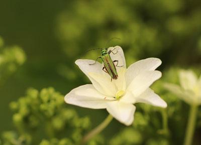 oedemere nobilis